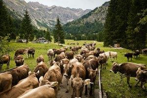 Die Herde auf dem Weg zur Hornbachalpe, der letzten Station des Sommers