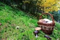 Die Guten ins Körbchen: Eingesammelt sind bereits Maronenröhrlinge (braune Hüte) und Schiefknollige Anis-Champignons (weiße Hüte). Im Moos stehen zwei schöne Birkenpilze. Alle drei Arten sind beliebte Speisepilze.