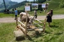 Das Rind Deby winkt dem Gewinner als Hauptpreis