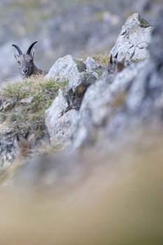 Eine Steinbockgeiß unterhalb des Mittaggüpfis