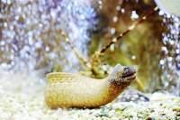 Die Muräne steht nicht auf der Karte und darf unbehelligt im Aquarium des O Palácio schwimmen. Ähnlich viel Glück hat die Languste im Hintergrund nicht