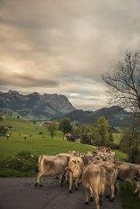Herdentrieb: Die Familie Fuster führt ihre Kühe zur Großviehschau nach Appenzell