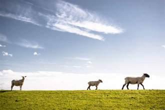Schaf, Kindlein, Schaf: Die Tiere sind am Deich weit verbreitet und prägen maßgeblich die Landschaft.