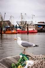 Möwenanteil: Vom Hafen des Nordseebads Fedderwardersiel starten täglich Krabbenkutter auf ihre ertragreichen Fangfahrten.